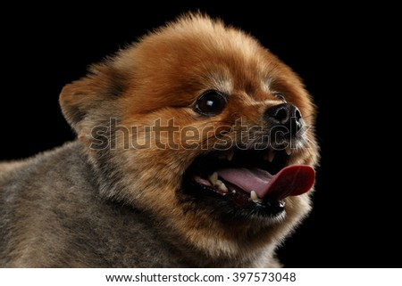 Close up head of Cute Red Pomeranian Spitz Puppy in Profile view isolated on Black Background - stock photo