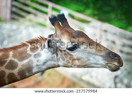 Close-up head of giraffe - stock photo