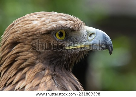Close up head portrait of a golden eagle. The golden eagle is one of the best-known birds of prey in the Northern Hemisphere. It is the most widely distributed species of eagle. - stock photo