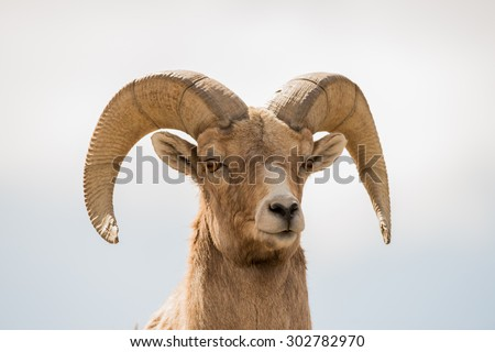 Close up head shot of a male big horn sheep (ram) - stock photo