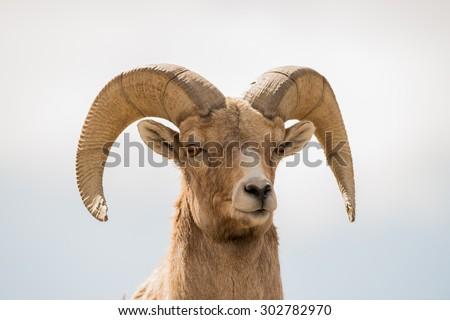 Close up head shot of a male big horn sheep (ram) - stock photo