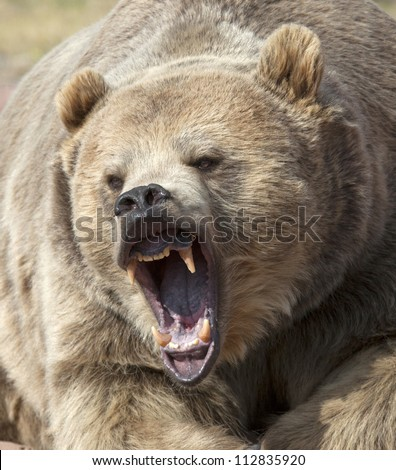 Angry Grizzly Bear Face Close up head shot of grizzly Grizzly Bear Face Logo