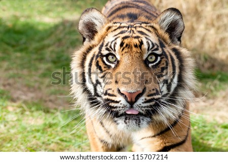 Close up Head Shot of Sumatran Tiger Panthera Tigris Sumatrae - stock photo