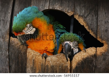 Close up head shot of two macaw parrots in their nest barrel box. - stock photo
