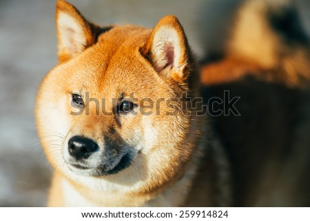Close Up Head Snout Of Beautiful Young Red Shiba Inu Puppy Dog Staying Outdoor - stock photo