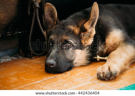 Close Up Head Young German Shepherd Alsatian Wolf Puppy Dog Sitting On Wooden Floor
