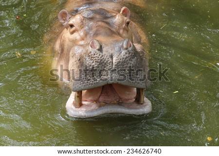 close up hippopotamus in water - stock photo