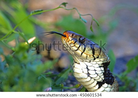 close up hissing Eurasian grass snake or natrix natrix often called ringed or water snake in Italy - stock photo