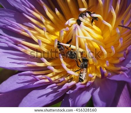 close up : honey bees pollinating purple lotus - stock photo