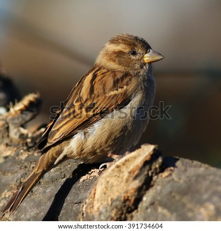 Close up House Sparrow on branch, Passer domesticus  - stock photo