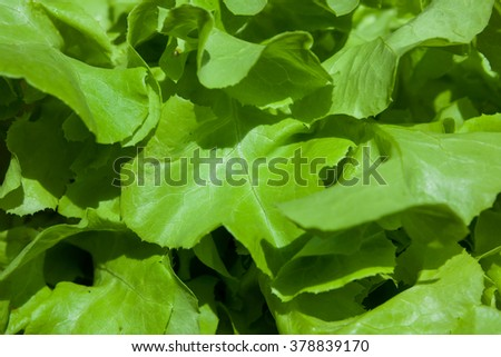 Close up Hydroponic vegetable (Green Oak) in garden.
