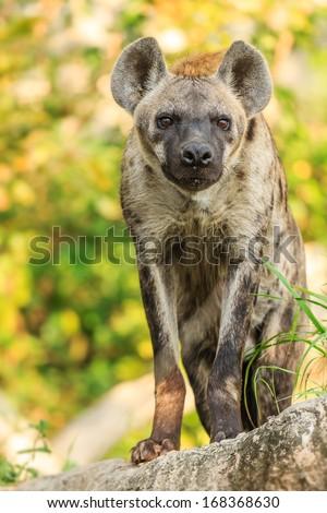 Close Up Hyena in wild - stock photo
