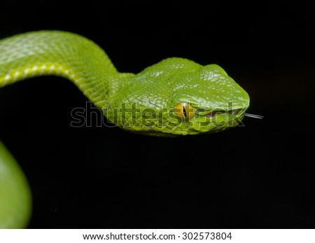 Close-up image of a a green pit viper