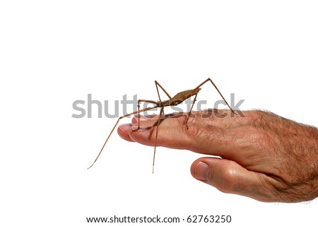 "close up image of a ""Carausius morosus"" aka 'Indian"" and ""laboratory stick insect"" or ""walking Stick"" on a mans hand isolated on white"