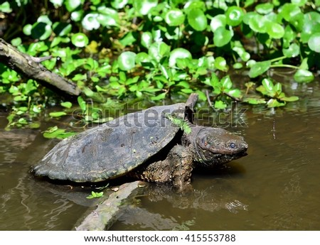 Close up image of a common snapping turtle, (Chelydra serpentina), on a log, hunting fish for food.