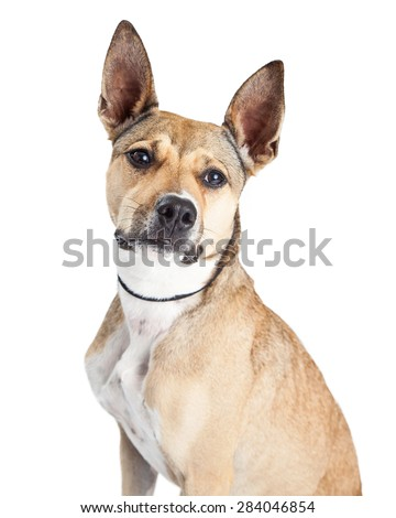 Close-up image of a cute Shepherd mixed breed dog with big perky ears