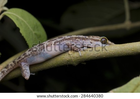 Close-up image of a gravid marbled bent-toed gecko