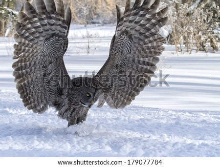 Close up image of a great gray owl in flight, focused on catching its prey.  Winter in Winnipeg, Manitoba.  - stock photo