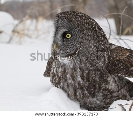 Close up image of a Great Grey Owl in snow.  Provincial bird of Manitoba, Canada. - stock photo