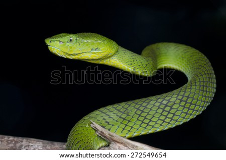 Close-up image of a green Cameron Highland Pit Viper - stock photo