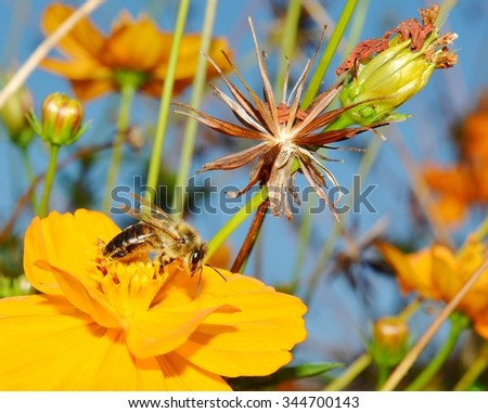 Close Up Image Of A Honey Bee (Apis mellifera) Pollinating A Cosmos Flower (Cosmos sulphureus).