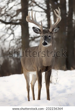 Close up image of a large, trophy sized white-tailed buck.  Autumn in Wisconsin. - stock photo