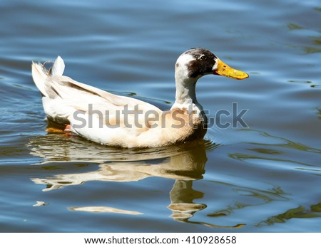 Close up image of a mottled brown and white hybrid duck, with bright golden bill, swimming, with reflection in the clear blue water. - stock photo