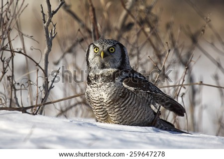 Close up image of a Northern Hawk Owl in late afternoon light. - stock photo