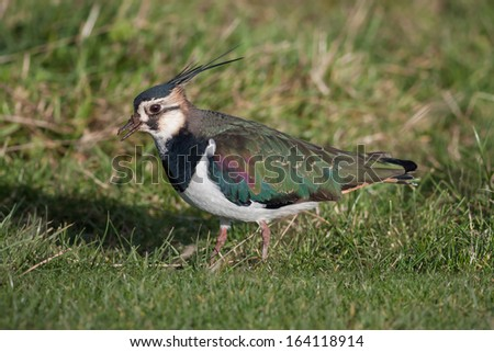 Close Up Image of a Northern Lapwing on Grass - stock photo