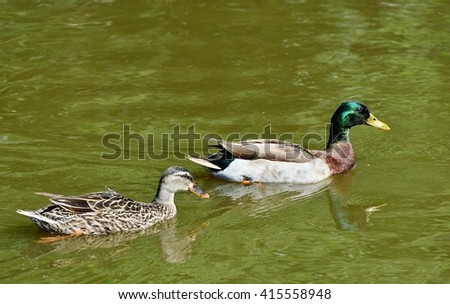 Close up image of a pair of Greenhead Mallard Ducks, (Anas platyrhynchos), swimming in a pond. - stock photo