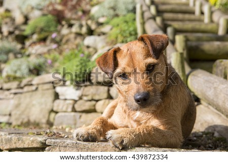 Close up image of a pet dog enjoying the sunshine in the garden. She is looking at the camera - stock photo