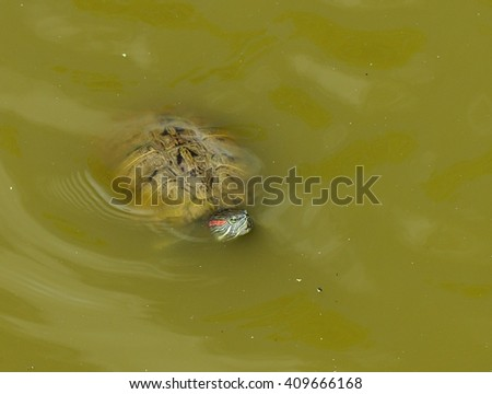 Close up image of a Red Eared Slider Turtle (Trachemys scripta elegans), swimming in muddy water.