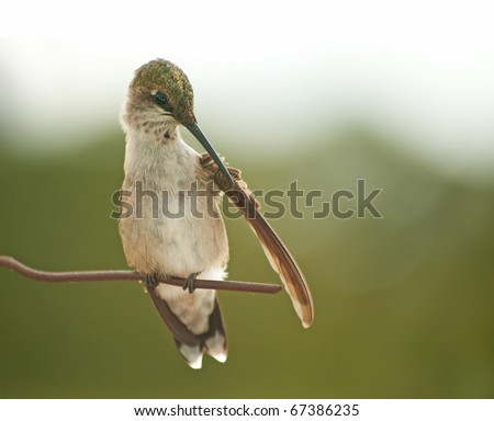 Close up image of a tiny Hummingbird grooming his wing with his beak - stock photo