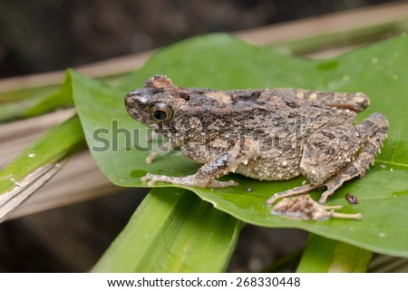 Close-up image of a toad on a green leaf - stock photo