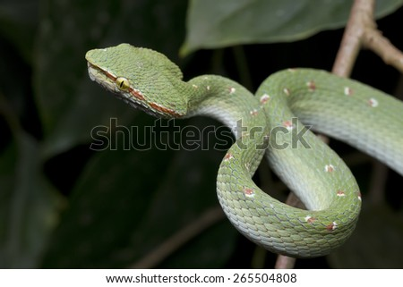 Close-up image of a venomous pit viper on green vegetation