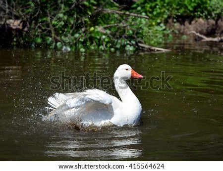 Close up image of a white goose shaking off water droplets while preening and bathing. - stock photo