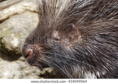 Close-up image of an African Crested Porcupine. - stock photo