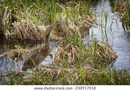 Close up image of an American Bittern in a swampy marsh in springtime. - stock photo