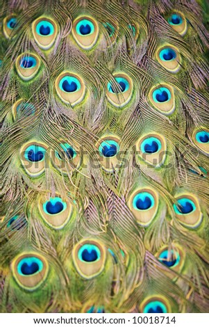 Close up image of an Indian Peacock tail plumage - stock photo