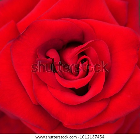 close-up image of beautiful red rose flower