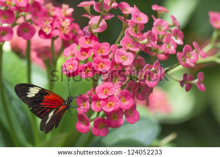 Close up image of black butterfly on pink flower