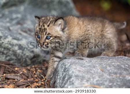 Close up image of bobcat kitten.  Shallow depth of field. - stock photo