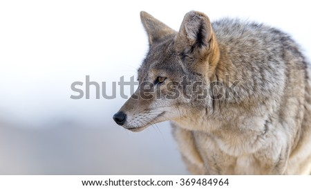 Close Up image of Coyote  - stock photo