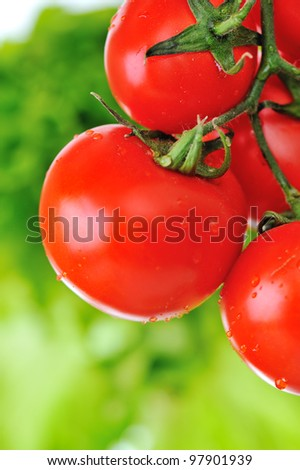 Close up image of fresh red tomatoes on the plant in garden