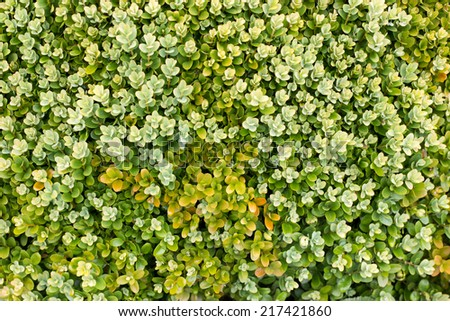 Close up image of green privet hedgerow - stock photo