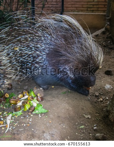 Close up image of large spiny porcupine, Greece