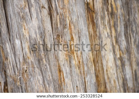 Close up image of large trunk of eucalyptus tree in rainforest Tasmania, wallpaper textured and pattern as backdrop and copy space. - stock photo