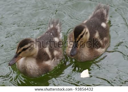 Close-up image of Mallard / Duck - Anas Platrhynchos - stock photo