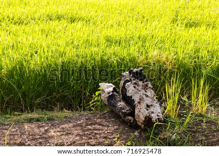 Close-up image of old burned-out stumps left on a dirt near a yellow rice field.