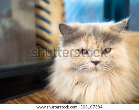 Beautiful Brown Cat Siberian Breed Stock Photo 572404522